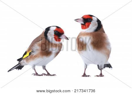 two goldfinch isolated on a white background