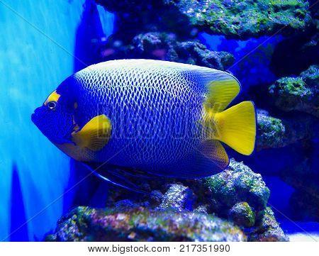 Holacanthus ciliaris. Queen Angelfish. exotic fish.  fish