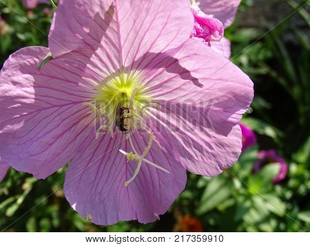 Pollination of a purple flower by a flying  insect