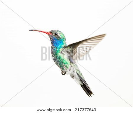 Broad billed hummingbird isolated on a white background.
