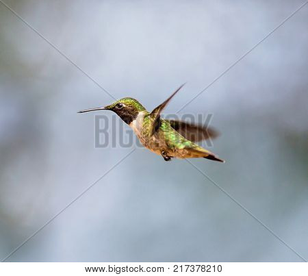 Ruby throated hummingbird isolated on a whte and grey background.