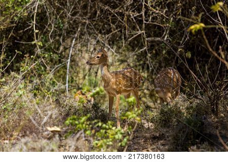 The sambar is a large deer native to the Indian subcontinent, southern China and Southeast Asia. Also know as a spotted deer.