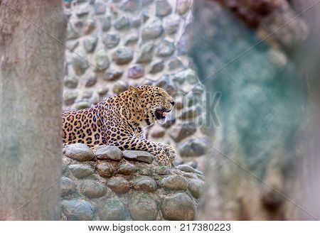 The Indian leopard is a subspecies widely distributed on the Indian subcontinent.