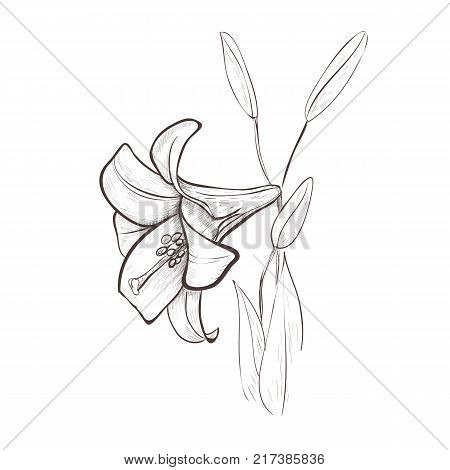 Lily sketch drawing of a flower. Lily flower hand drawing vector illustration