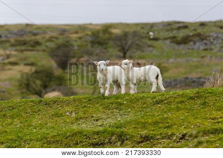 A pair of Welsh mountain sheep lambs on a wild and rugged mountainous pasture in rural Bala North Wales