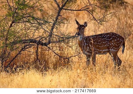 Female spotted deer or Axis grazes known as chital in Ranthambore national reserve in India