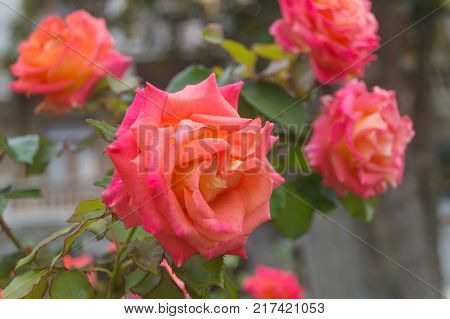 Pink orange roses grow in the garden on a nasty day