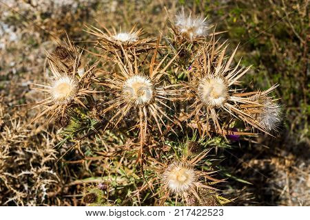 Dry Thistle Close-up In The Field Siurana Catalunya Spain. Close-up
