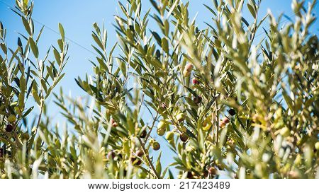 Ripe Almonds On The Tree Branch Siurana Catalunya Spain. Isolated On Blue Background
