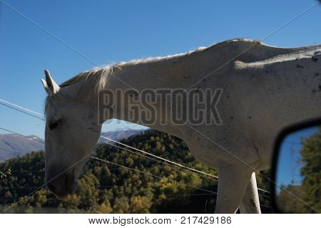 beautiful graceful white horse on a background of green forest and sky