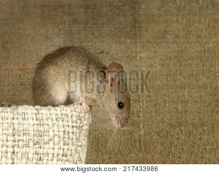 Closeup the vole mouse sits on top of linen bag and looks down on background of the canvas.   Inside storehouse. Fight with rodents.