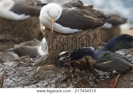 Black-browed Albatross (Thalassarche melanophrys) nesting on the Saunders Island in the Falkland Islands. Pair of Imperial Shag (Phalacrocorax atriceps albiventer) fighting in the mud.