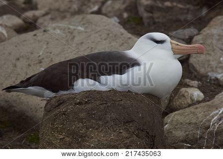 Black-browed Albatross (Thalassarche melanophrys) sitting on a nest on the cliffs of Saunders Island in the Falkland Islands.