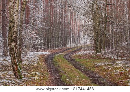 The beginning of winter. First snow. A tall, pine forest. Tall, young pines grow between tall trees. A forest road leads through the forest. It is the beginning of winter. The ground and tree branches are covered with a thin layer of snow.