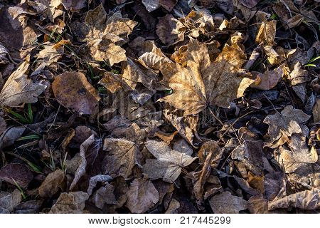 fallen dry leaves covered with hoarfrost, frozen maple leaf and birch leaf. Leaves in the morning sun with hoarfrost