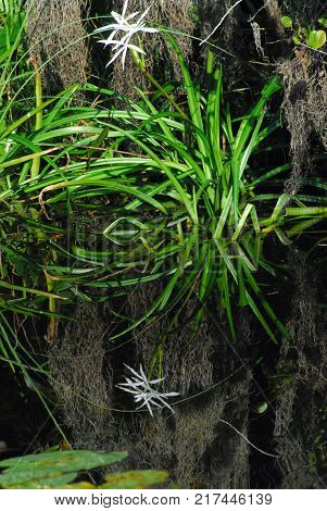 A beautiful vertical reflection shot of a Swamp Lily in the Florida Everglades