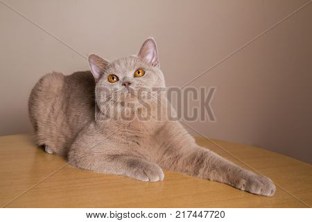 British cat lilac color gracefully lies on a table look-up paws outstretched beautiful chubby cat has collapsed and is resting