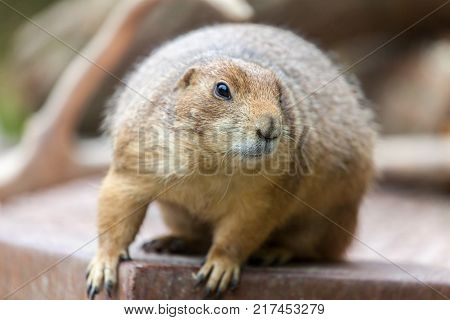 groundhog sits on ground and looks to the side