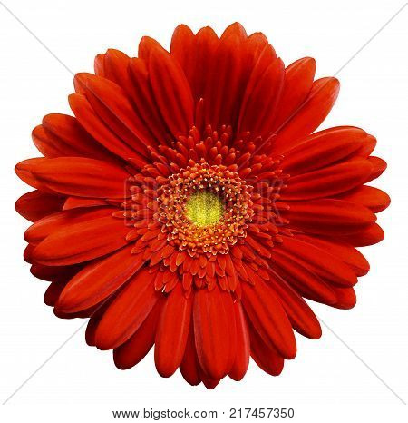 Red gerbera flower white isolated background with clipping path. Closeup. no shadows. For design. Nature.