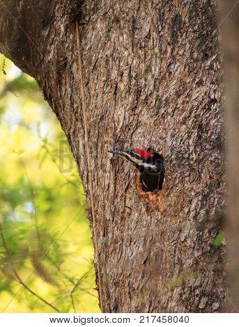 Male Pileated Woodpecker Bird Dryocopus Pileatus Peers Out Of Its Nest Hole