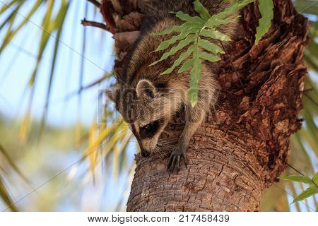 Raccoon Procyon Lotor Forages For Food