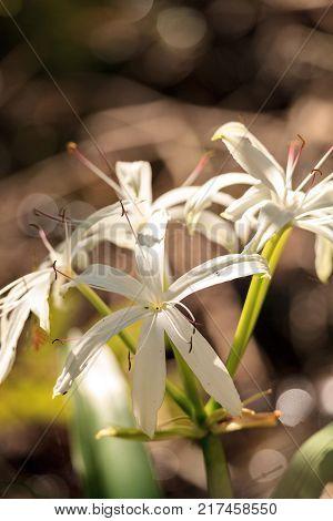 White Swamp Lily Flower Crinum Americanum