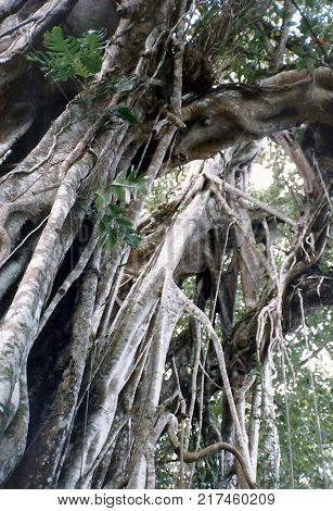 A big banyan tree stands on the island of 'Eua, in the South Pacific Kingdom of Tonga.