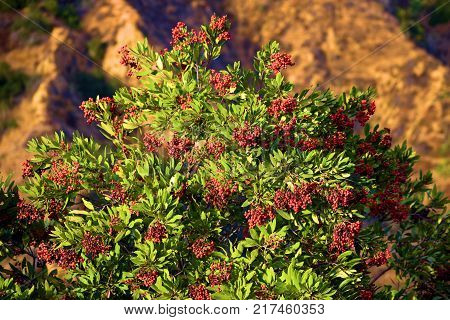 Heteromeles Plant also known as the Toyon Plant which is a native drought tolerant chaparral shrub with wild red berries taken at a rural arid landscape in the Whittier Hills, CA