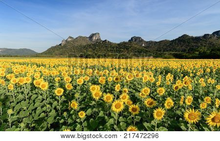 Beautiful Sunflower Fields With Mountain Background