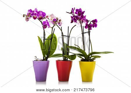 Three orchids in pots isolated on a white background. Beautiful indoor flowers close-up. Gift.