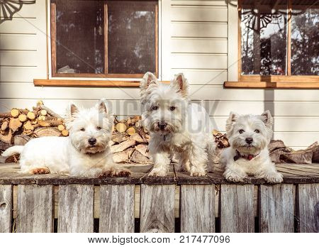 Pack of three west highland white terrier westie dogs on old wooden timber verandah deck of rural Queenslander villa style farmhouse in New Zealand NZ - firewood stack in background