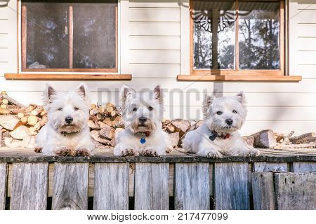 West highland white terrier dog pack laying in a row on old wooden timber verandah deck of a rural Queenslander villa style house in New Zealand NZ with weatherboards and firewood log pile. Cute pets relaxing outdoors at home.