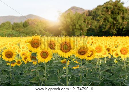 Beautiful Sunflower On Blue Sky Background,