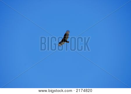 large bird soaring in a clear blue sky poster