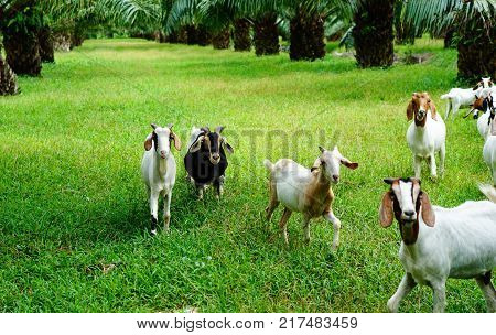white Saanen goat eat food from tourist from Chaina poster