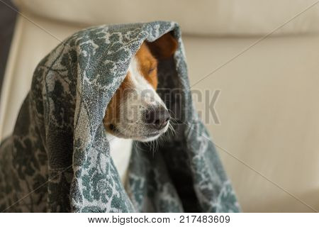 Indoor portrait of royal basenji dog nodding under coverlet in favorite chair closely