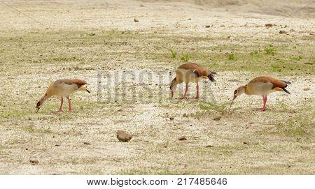 Egyptian Geese (Alopochen aegyptiaca) feeding