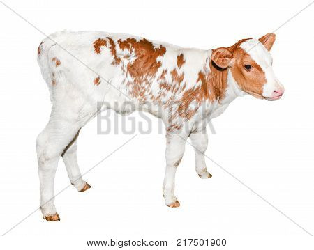 Beautiful little red and white spotted calf isolated on white. Funny red little cow full length isolated on white background. Farm animals. The calf turned two weeks old full length