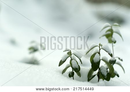Early winter; lingonberry twigs under the first snow. Bottom view blurred background.
