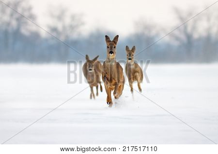 Group of three Roe deer Capreolus capreolus does in winter. Deer running in deep snow towards camera with snowy background. Action willdlife image of approaching wild animals.