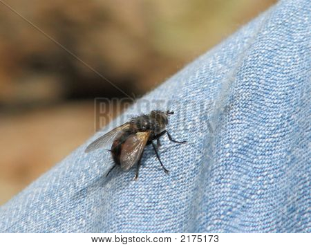 This is a large horse fly on denium. Taken in the Seirra Nevada mountains Califonia. poster