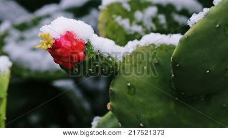 Green cactus with pink and yellow cactus bloom with layer of snow.