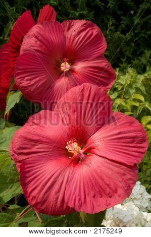 Hardy Hibiscus (Hibiscus Moscheutos)