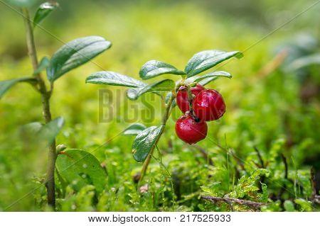 Close-up of wild and ripe lingonberries (or cowberries) (Vaccinium vitis-idaea).