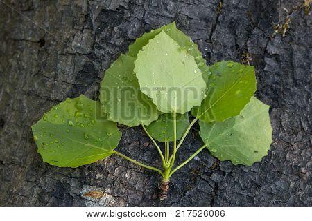 Close-up of aspen's (also known as common aspen, Eurasian aspen, European aspen or quaking aspen (Populus tremula)) wet leaves on top of a tree trunk.