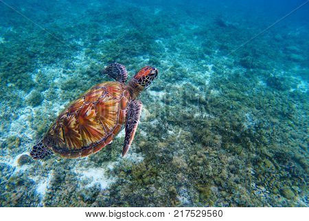 Green sea turtle in seashore. Green sea turtle closeup. Endangered species of tropical coral reef. Marine tortoise photo. Tropic sea shore fauna. Summer travel seaside activity. Sea turtle snorkeling
