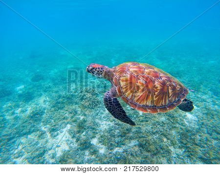 Wild sea turtle in blue ocean closeup. Green sea turtle closeup. Endangered species of tropical coral reef. Tortoise photo. Tropic seashore fauna. Summer travel seaside activity. Sea turtle snorkeling