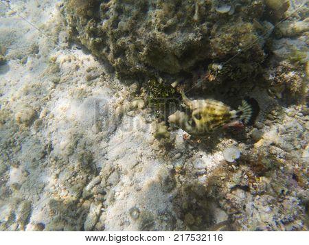 Green tropical fish mimicry in seaweed. Undersea landscape photo. Wildlife scene of tropical shore. Coral reef underwater photo. Snorkeling in tropic. Exotic island seaside vacation. Aquarium banner