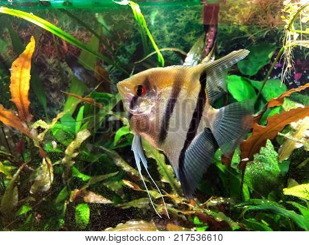 Angelfish with black and silver stripes and gold cast on its top in densely planted tropical aquarium