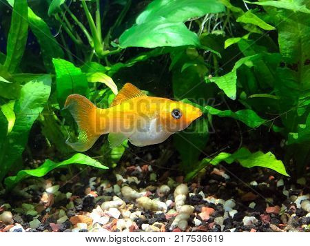 Cremecicle Lyretail Molly (Poecilia latipinna) swimming in planted tropical fish tank